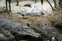 #71 Crocodiles - Artis Royal Zoo Amsterdam (Holland)
