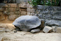 #74 Aldabra Giant Tortoise - Artis Royal Zoo Amsterdam (Holland)