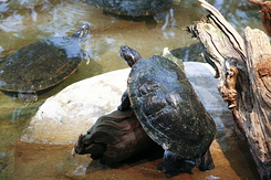 #75 Common Cooter - Artis Royal Zoo Amsterdam (Holland)