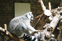 #77 Ring-tailed Lemur - Artis Royal Zoo Amsterdam (Holland)