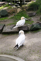 #79 Northern Gannets - Artis Royal Zoo Amsterdam (Holland)