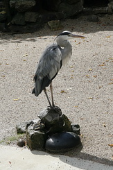 #80 Grey Heron - Artis Royal Zoo Amsterdam (Holland)