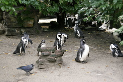 #81 Jackass Penguins - Artis Royal Zoo Amsterdam (Holland)