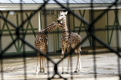 #83 Young Reticulated Giraffes - Artis Royal Zoo Amsterdam (Holland)