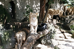 #113 Lions - Artis Royal Zoo Amsterdam (Holland)