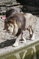 #114 Lion - Artis Royal Zoo Amsterdam (Holland)