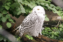 #119 Snowy Owl - Artis Royal Zoo Amsterdam (Holland)