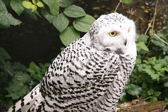 #120 Snowy Owl - Artis Royal Zoo Amsterdam (Holland)