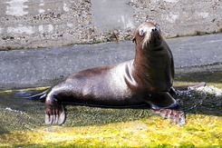 #123 Young California Sea Lion - Artis Royal Zoo Amsterdam (Holland)