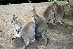 #126 Bennett's Wallabies - Artis Royal Zoo Amsterdam (Holland)