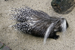#127 Porcupine - Artis Royal Zoo Amsterdam (Holland)