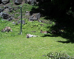 #392 Red-Necked Wallaby - Auckland Zoo (New Zealand)