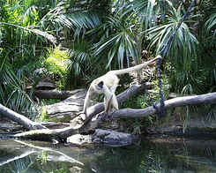 #395 Spider Monkey - Auckland Zoo (New Zealand)