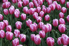 #782 Pink Flag Tulips