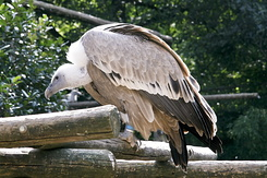 #864 Griffon Vulture - Amersfoort Zoo (the Netherlands)