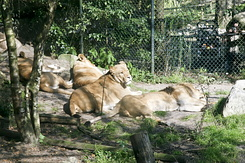 #865 Lions - Amersfoort Zoo (the Netherlands)