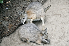 #867 Parma Wallabies - Amersfoort Zoo (the Netherlands)