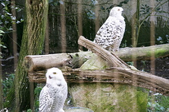 #870 Snowy Owls - Amersfoort Zoo (the Netherlands)