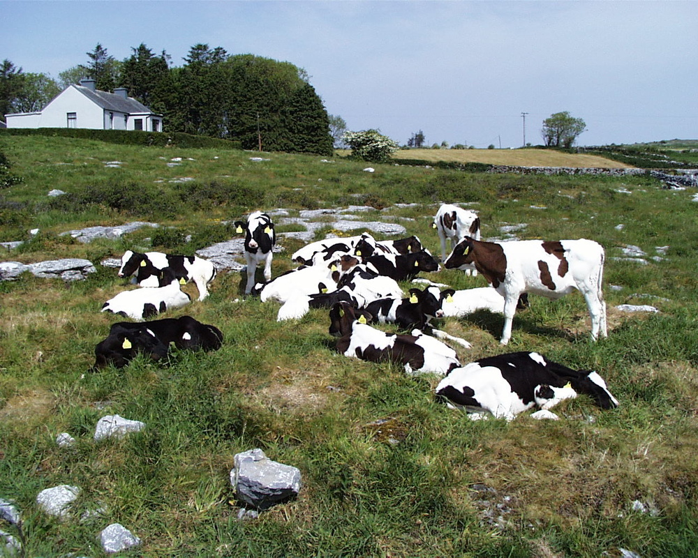 2004-25 Young Cattle - The Burren National Park (Ireland).jpg