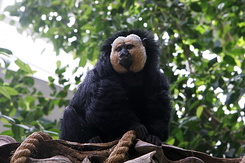 #1208 White-faced Saki (Artis Zoo - Amsterdam)