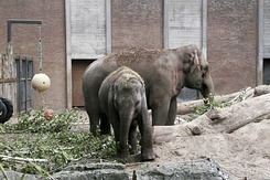 #1211 Asian Elephants (Artis Zoo - Amsterdam)