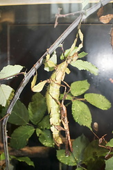#1251 Giant Prickly Stick Insect (Artis Zoo - Amsterdam)