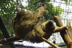 #1278 Two-toed Sloth (Artis Zoo - Amsterdam)