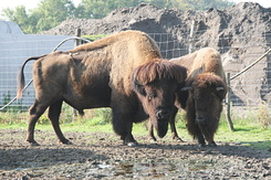 #1652 Bisons - Rotterdam Zoo (Holland)