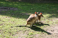 #1693 Agile Wallabies - Rotterdam Zoo (Holland)