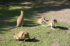 #1696 Agile Wallabies - Rotterdam Zoo (Holland)