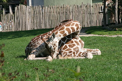 #1697 Reticulated Giraffe - Rotterdam Zoo (Holland)