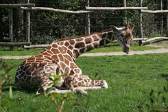 #1698 Reticulated Giraffe - Rotterdam Zoo (Holland)