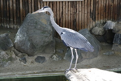 #1706 Grey Heron - Rotterdam Zoo (Holland)