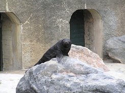 #1714 Young South African Fur Seal - Zoo Leipzig (Germany)