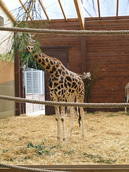 #1733 Rothschild's Giraffes - Zoo Leipzig (Germany)