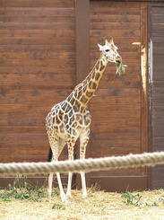 #1734 Rothschild's Giraffe - Zoo Leipzig (Germany)