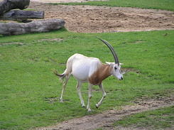 #1737 Scimitar Oryx - Zoo Leipzig (Germany)