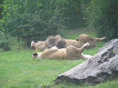 #1738 Lions - Zoo Leipzig (Germany)