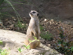 #1740 Meerkat - Zoo Leipzig (Germany)