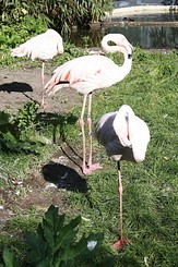 #2321 Chilean Flamingos - Artis Royal Zoo Amsterdam (Holland)