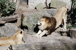 #2327 Lions - Artis Royal Zoo Amsterdam (Holland)
