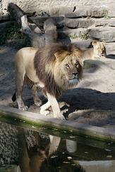 #2329 Lions - Artis Royal Zoo Amsterdam (Holland)