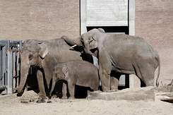 #2331 Asian Elephants - Artis Royal Zoo Amsterdam (Holland)