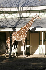 #2332 Reticulated Giraffes - Artis Royal Zoo Amsterdam (Holland)