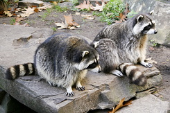 #2335 Raccoons - Artis Royal Zoo Amsterdam (Holland)