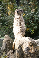 #2336 Meerkat - Artis Royal Zoo Amsterdam (Holland)