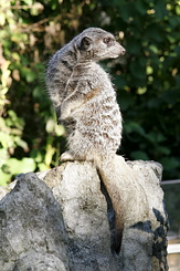 #2337 Meerkat - Artis Royal Zoo Amsterdam (Holland)