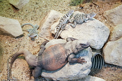 #2340 Chuckwalla & Collared Lizards - Artis Royal Zoo Amsterdam (Holland)