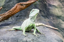 #2341 Asian Water Dragon - Artis Royal Zoo Amsterdam (Holland)