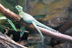 #2343 Asian Water Dragon - Artis Royal Zoo Amsterdam (Holland)